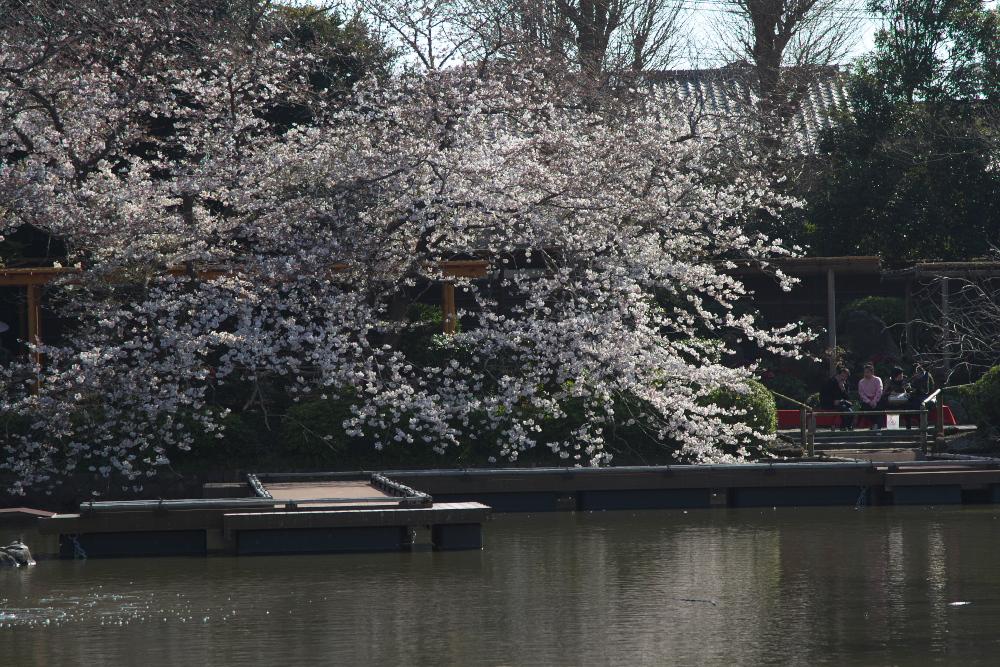 何気なく撮った桜の写真