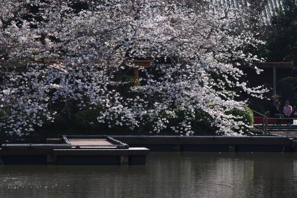 桜を綺麗に見せるトリミング