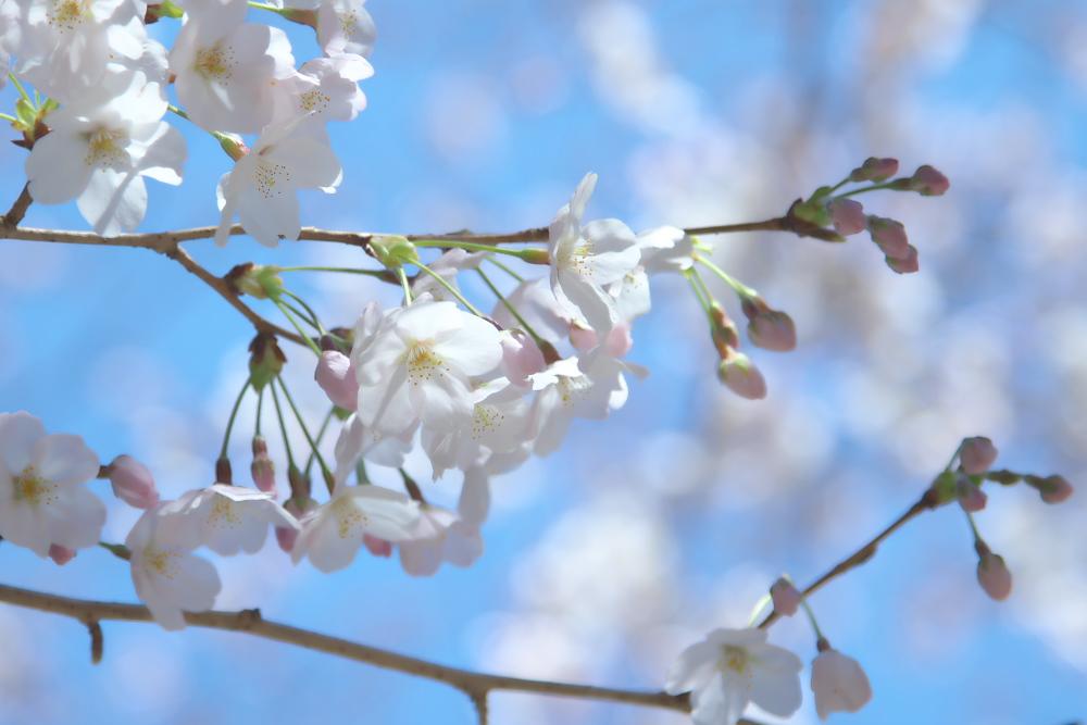 桜の写真をRAW現像