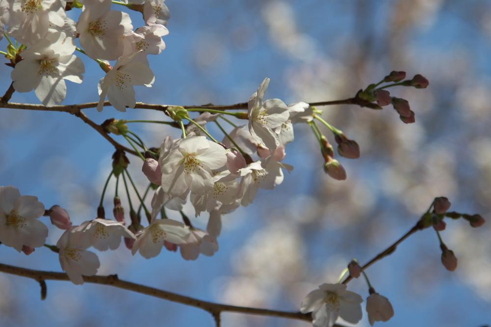 桜の写真をさらに綺麗に